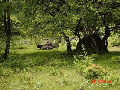 湯の丸牧場の牛さんS