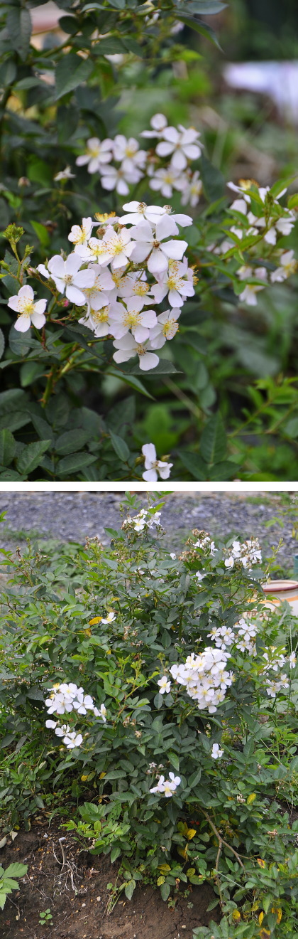 四季咲きノイバラ風.jpg