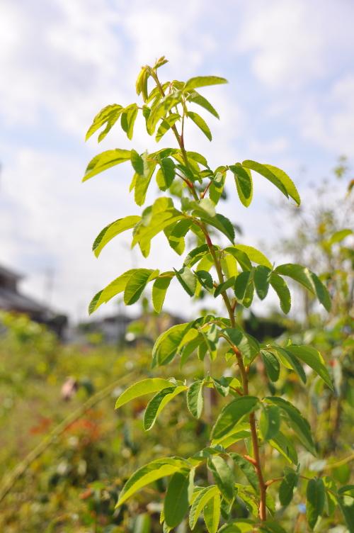 タカネイバラの葉.jpg
