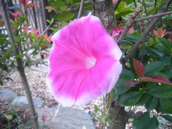 ピンクの朝顔.jpg