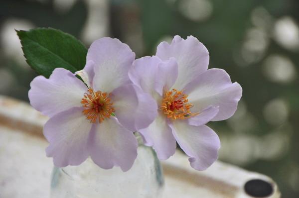 しべの綺麗なバラ^^.jpg