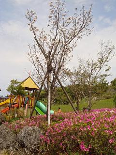 2010.3.31 峰田山公園山桜