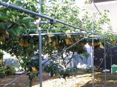 梨の木.jpg