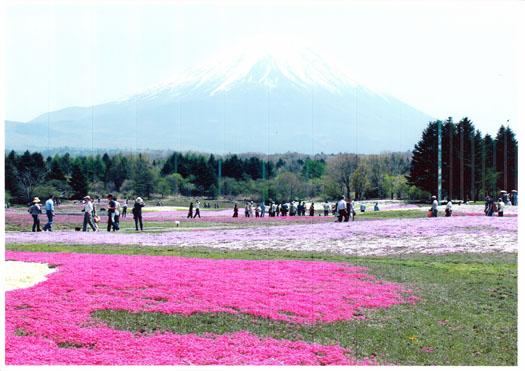 富士山ふもとの芝桜
