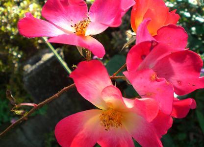 薔薇カクテル