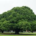 080805_成大榕樹