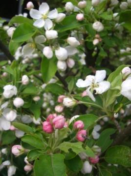 ひめりんごの花