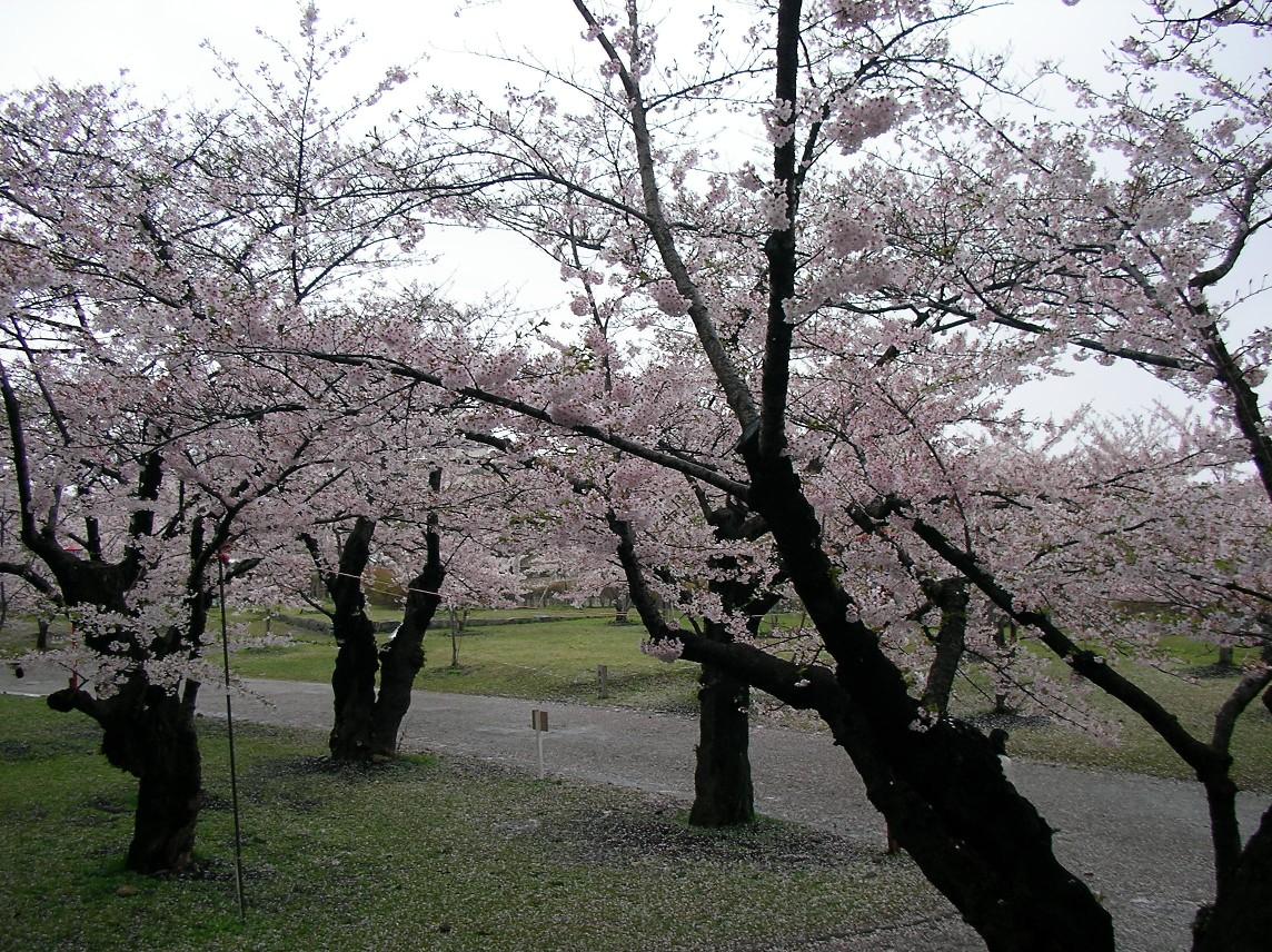Sakura 6252.JPG