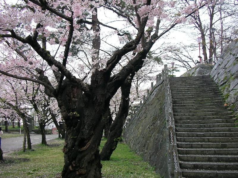 Sakura 6253.JPG