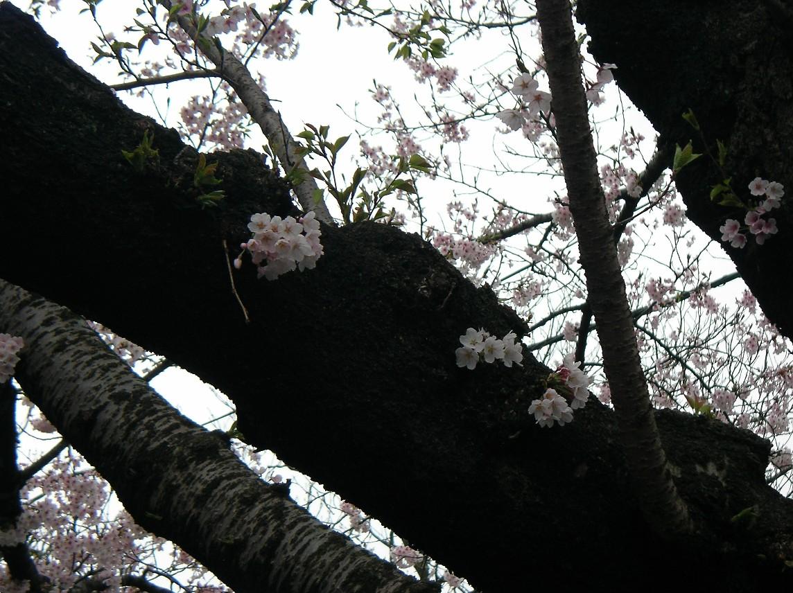 Sakura miki 6249.JPG
