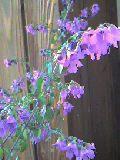mintbel