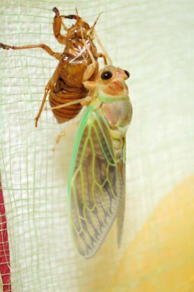 セミの幼虫の見つけ方 | こちら癒し処 小台橋! - 楽天ブログ