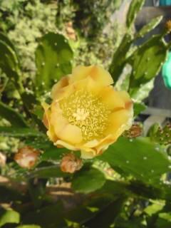サボテンのお花-1