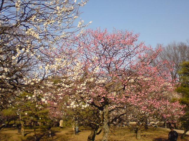 小金井公園-梅-1