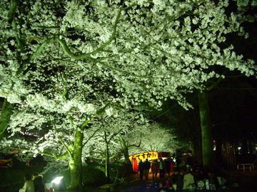 2010 夜桜2.jpg