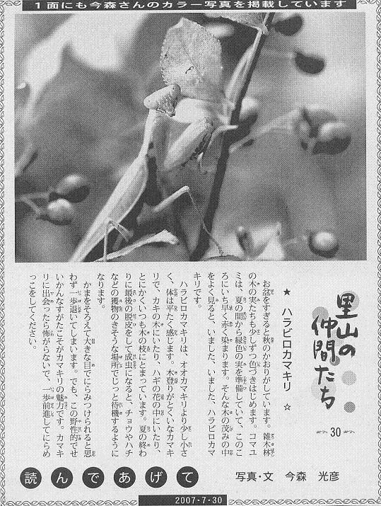 30 ハラビロカマキリ60.JPG