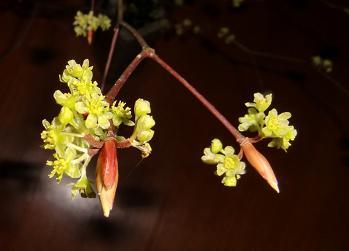 クロモジ花