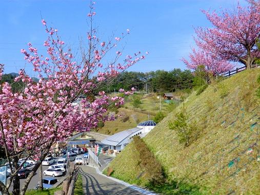 ボタン桜と駅