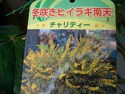 ヒイラギ南天・花名札.JPG