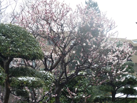 20110307梅と雪