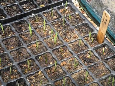 陸稲の成長1.jpg