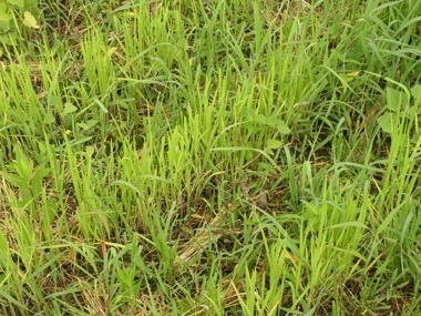 陸稲の成長5.jpg