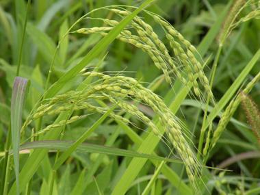 陸稲の成長6.jpg