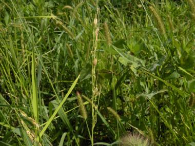 陸稲の成長7.jpg