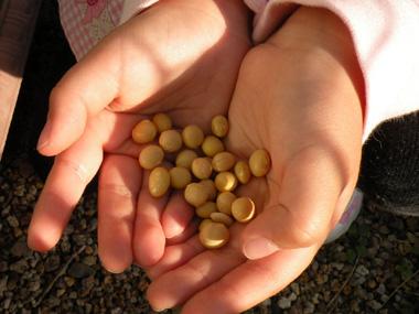 大豆収穫b.jpg