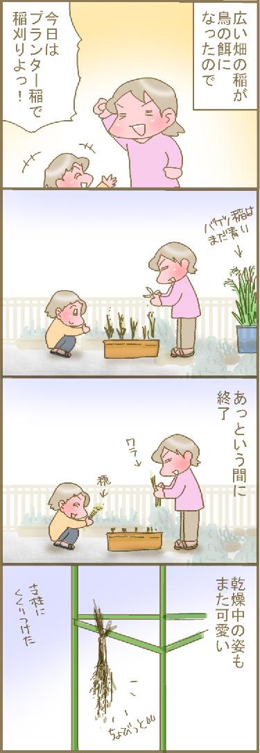 プランター稲.jpg
