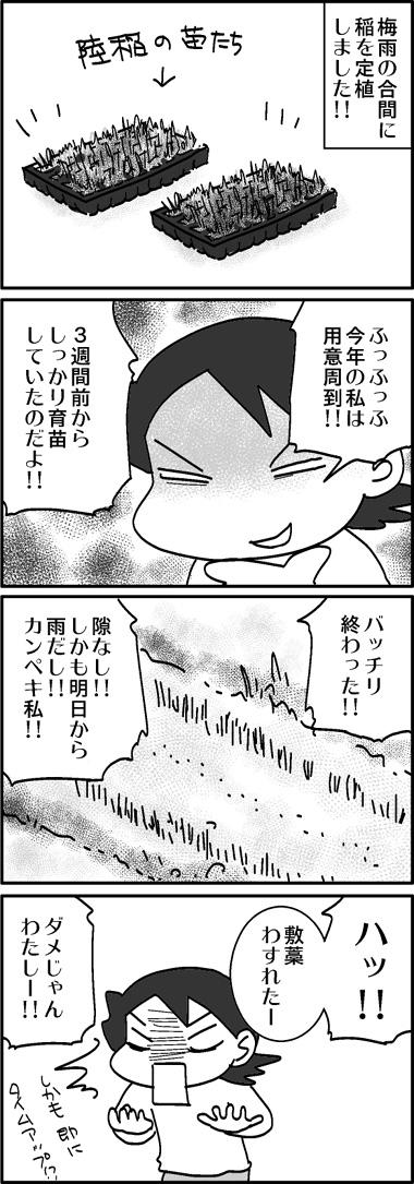 2008陸稲1.jpg