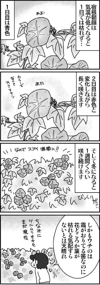 宿根朝顔3.jpg