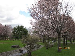 泉の沼公園 桜 2