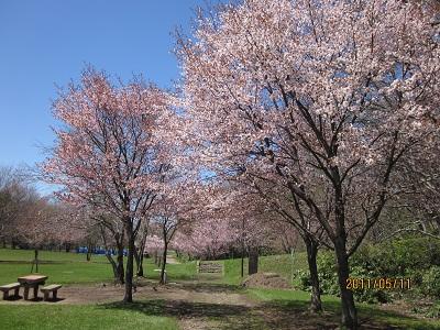 大麻西公園 桜