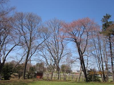 千古園 桜