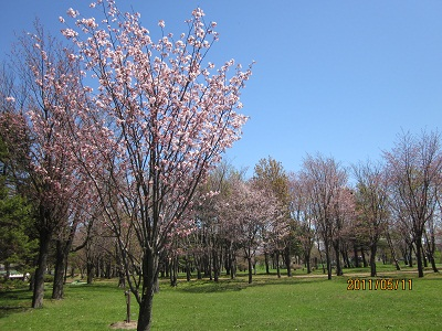 泉の沼公園 桜