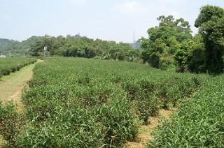 峨眉の茶畑