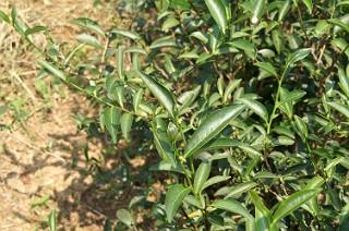 青心大有種の茶樹