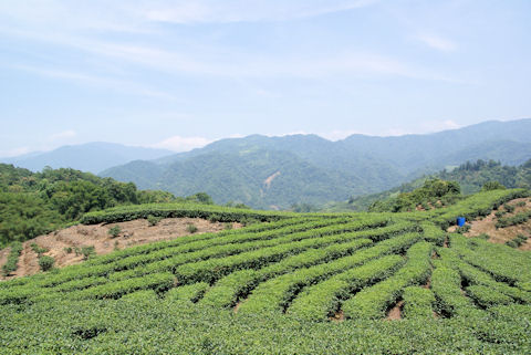 坪林の茶畑