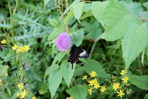 道端の花と蝶