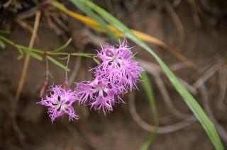原生花園の花2