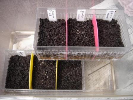 20080330 ホシクサの種蒔き