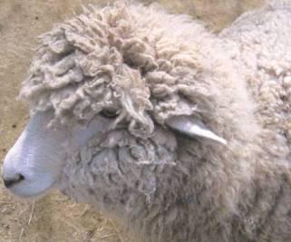 羊ちゃん.jpg