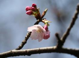 桜の蕾05