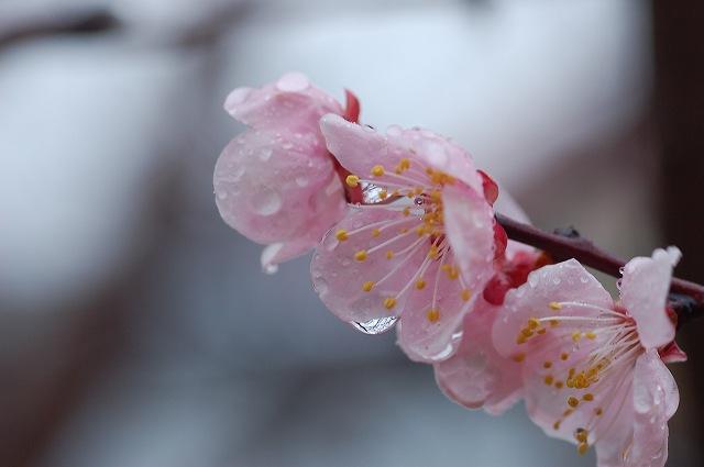 梅と杏の花 001.jpg