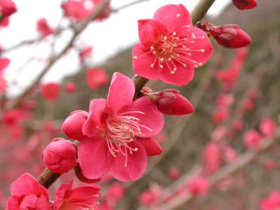 鋸山・日本寺の紅梅14