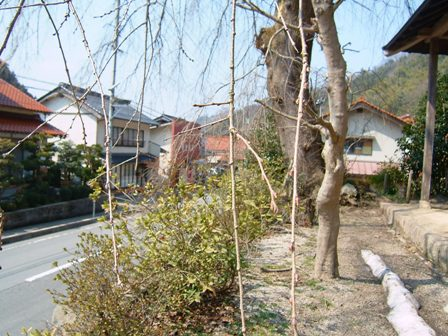 080311-前川桜