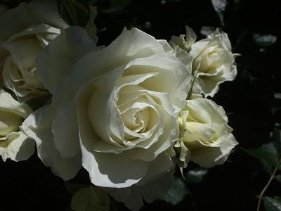 ホワイトアロー
