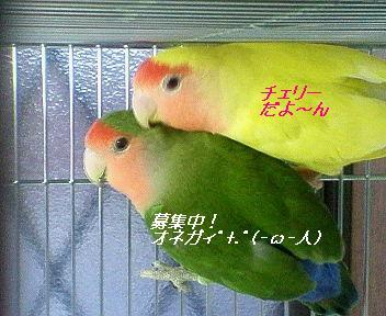 コザクラインコ&ゴールデンチェリー♪.JPG
