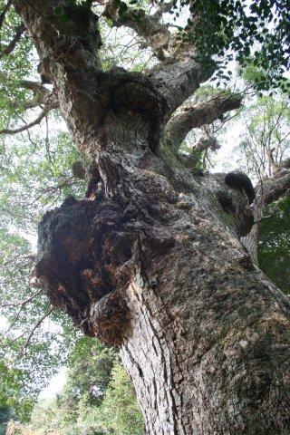 対馬の巨木
